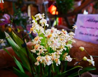 Orchidees La Boheme - mars 2019 c C.Delafaite OTCI