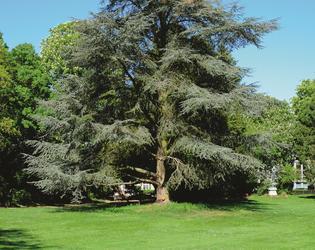 14. Le sequoia - Le cedre du Liban cYannickPranger