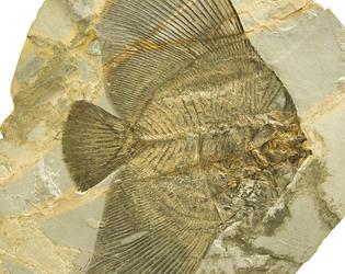 fossile poisson