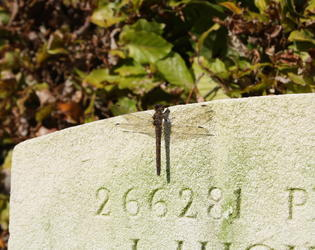 Dragonfly in  Proville british cemetery