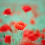 red poppy flower spring season